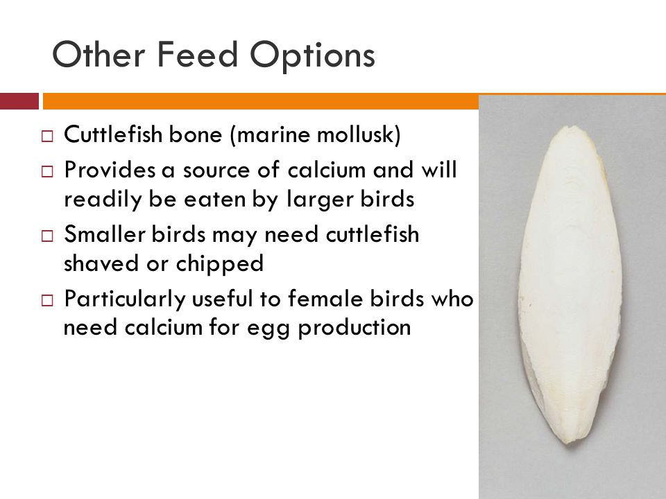 Other Feed Options Cuttlefish bone (marine mollusk)