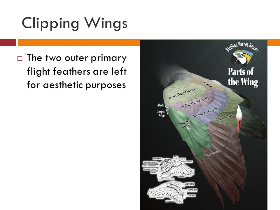 Clipping Wings The two outer primary flight feathers are left for aesthetic purposes