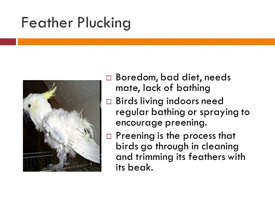 Feather Plucking Boredom, bad diet, needs mate, lack of bathing