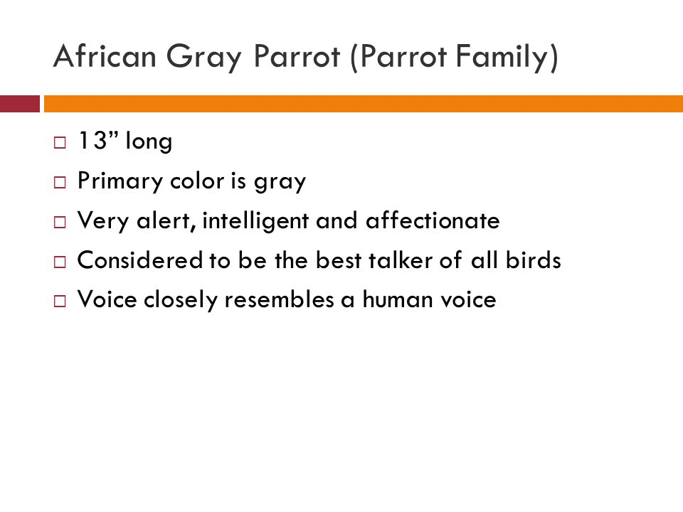 African Gray Parrot (Parrot Family)