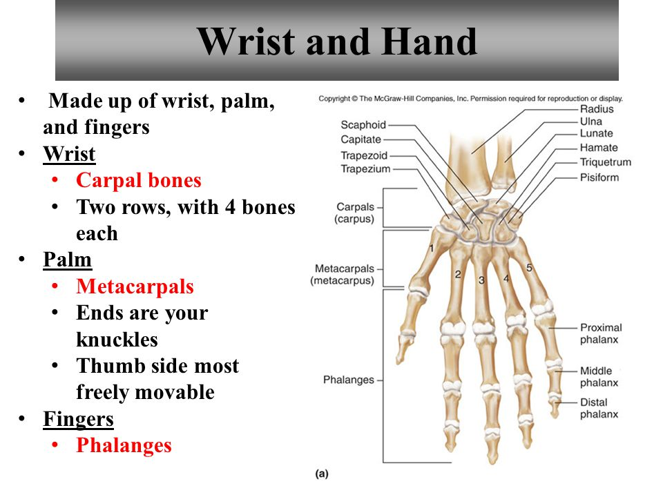 Wrist and Hand Made up of wrist, palm, and fingers Wrist Carpal bones