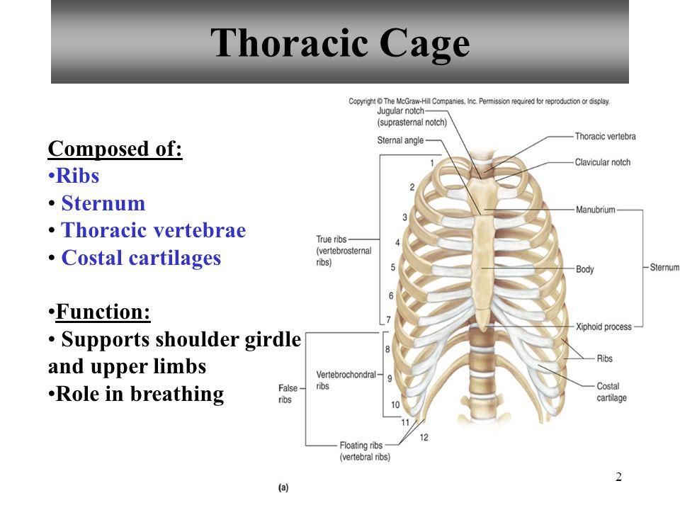 Thoracic Cage Composed of: Ribs Sternum Thoracic vertebrae