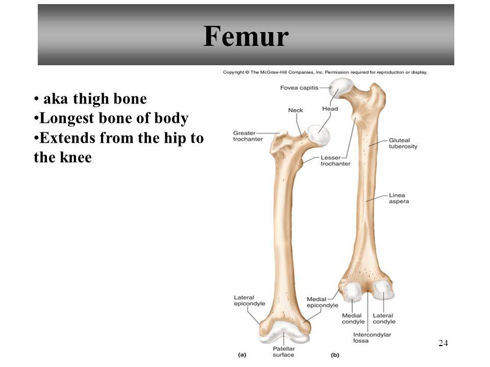 Femur aka thigh bone Longest bone of body