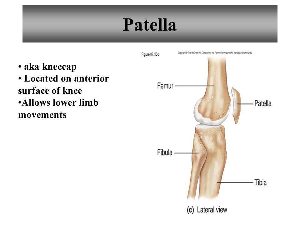Patella aka kneecap Located on anterior surface of knee