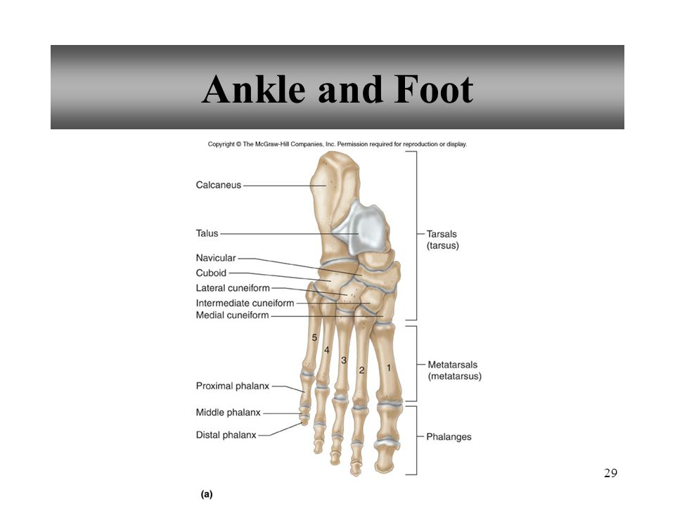 Ankle and Foot
