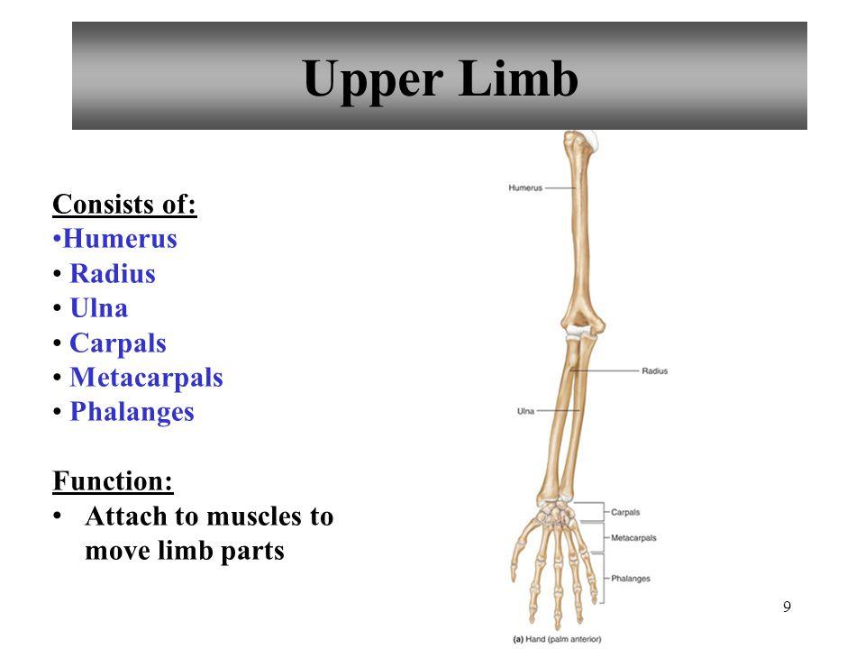 Upper Limb Consists of: Humerus Radius Ulna Carpals Metacarpals
