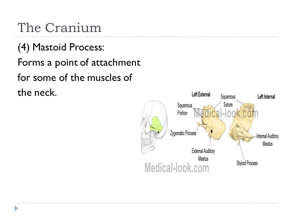 The Cranium (4) Mastoid Process: Forms a point of attachment for some of the muscles of the neck.
