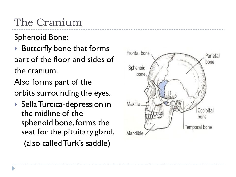 The Cranium Sphenoid Bone: Butterfly bone that forms