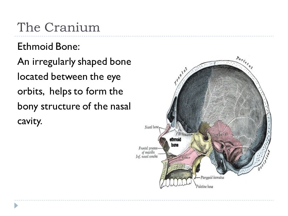 The Cranium Ethmoid Bone: An irregularly shaped bone located between the eye orbits, helps to form the bony structure of the nasal cavity.