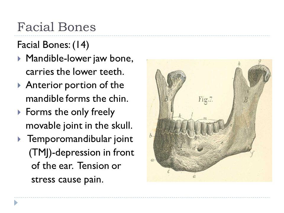 Facial Bones Facial Bones: (14) Mandible-lower jaw bone,