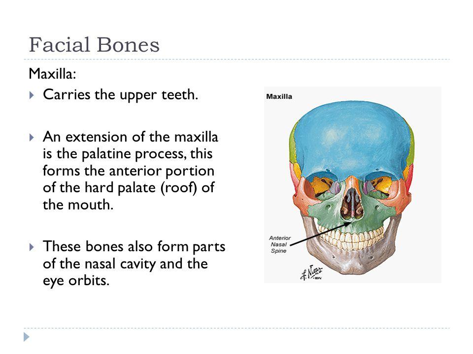 Facial Bones Maxilla: Carries the upper teeth.
