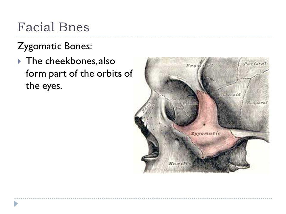Facial Bnes Zygomatic Bones: