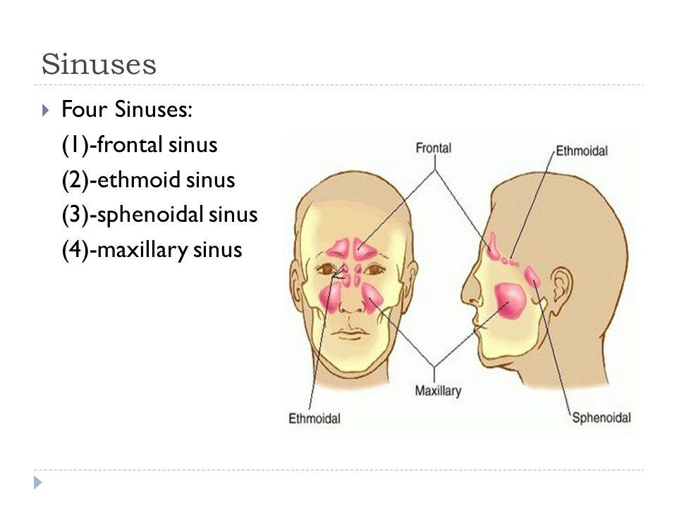 Sinuses Four Sinuses: (1)-frontal sinus (2)-ethmoid sinus