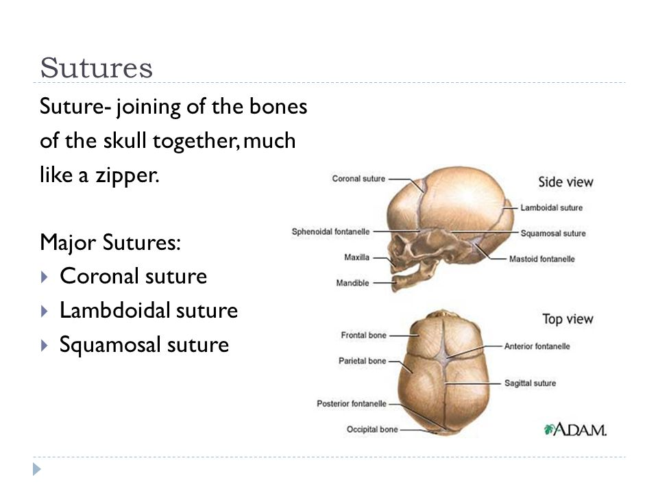 Sutures Suture- joining of the bones of the skull together, much