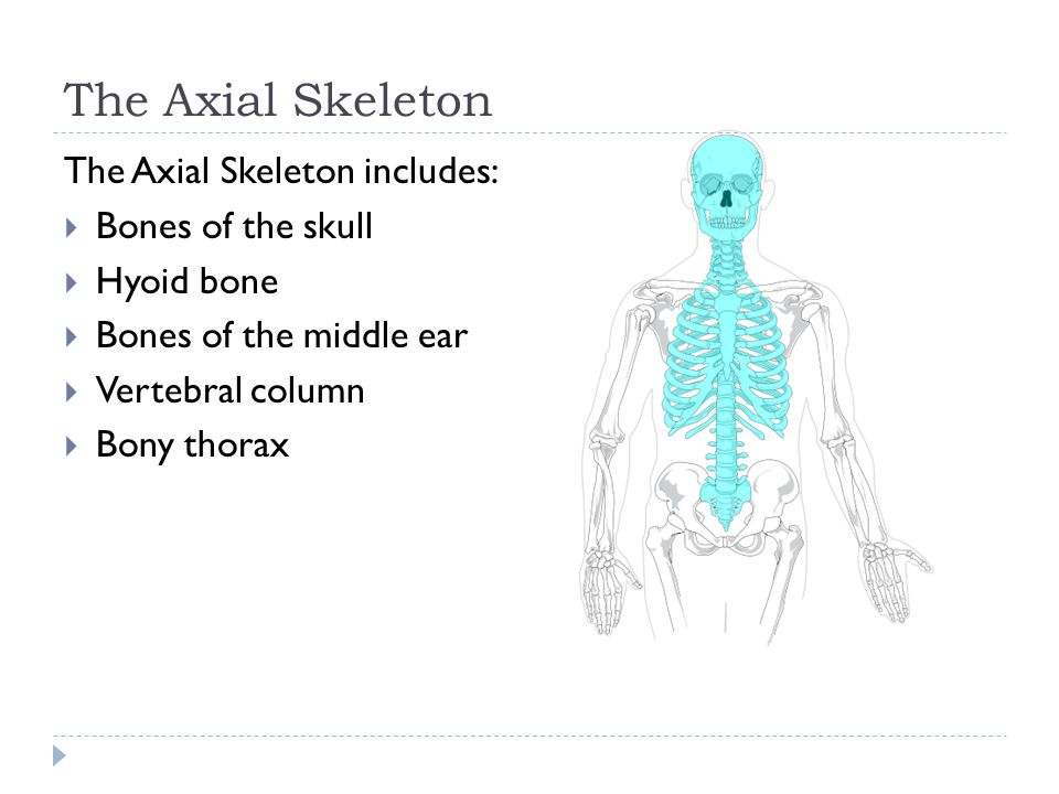 The Axial Skeleton The Axial Skeleton includes: Bones of the skull