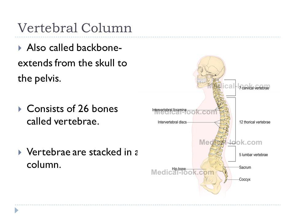 Vertebral Column Also called backbone- extends from the skull to