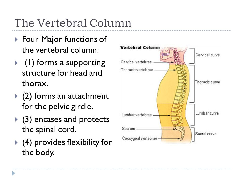the four major functions of an Four functions of the spleen  an adult spleen is about 5 inches long and weighs approximately 4 oz  the bone marrow is then the main site for making blood .