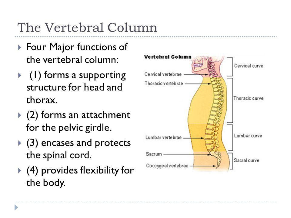 The Vertebral Column Four Major functions of the vertebral column: