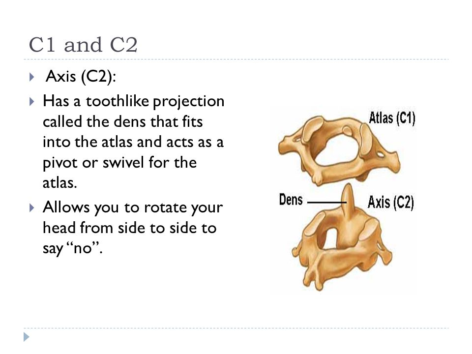 C1 and C2 Axis (C2): Has a toothlike projection called the dens that fits into the atlas and acts as a pivot or swivel for the atlas.