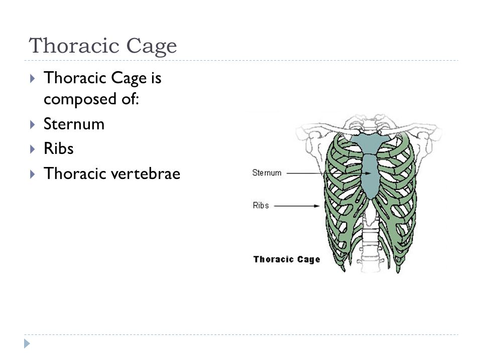 Thoracic Cage Thoracic Cage is composed of: Sternum Ribs