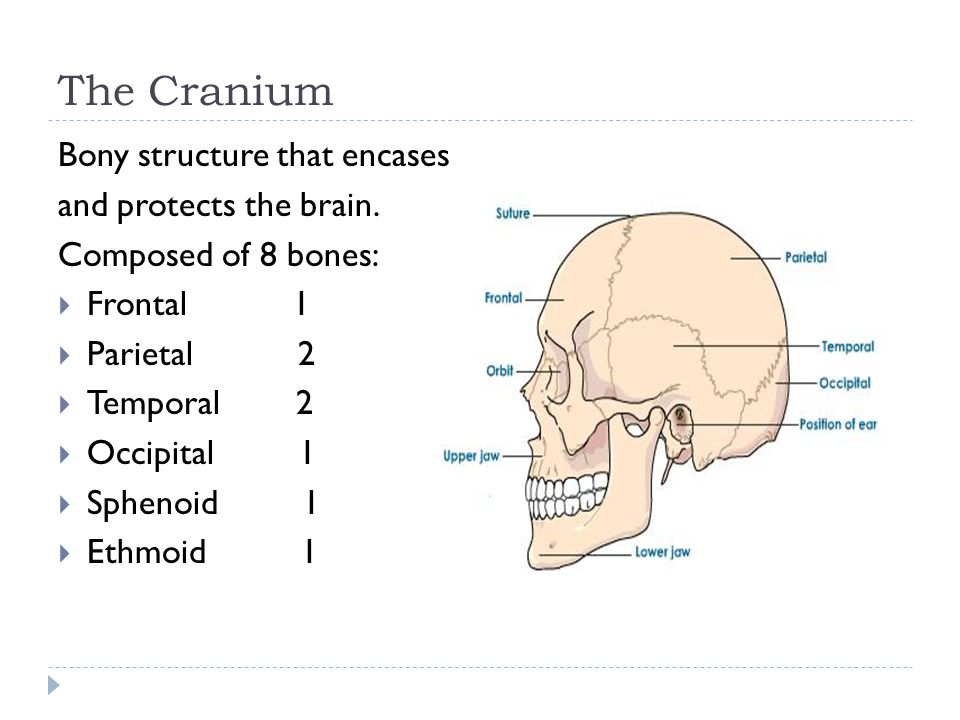 The Cranium Bony structure that encases and protects the brain.