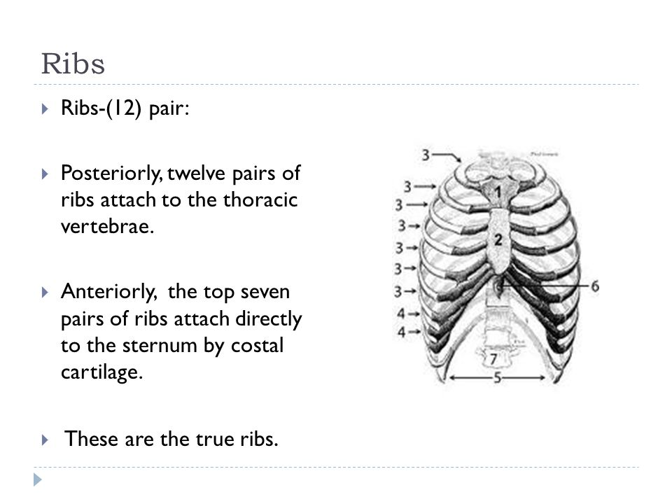 Ribs Ribs-(12) pair: Posteriorly, twelve pairs of ribs attach to the thoracic vertebrae.