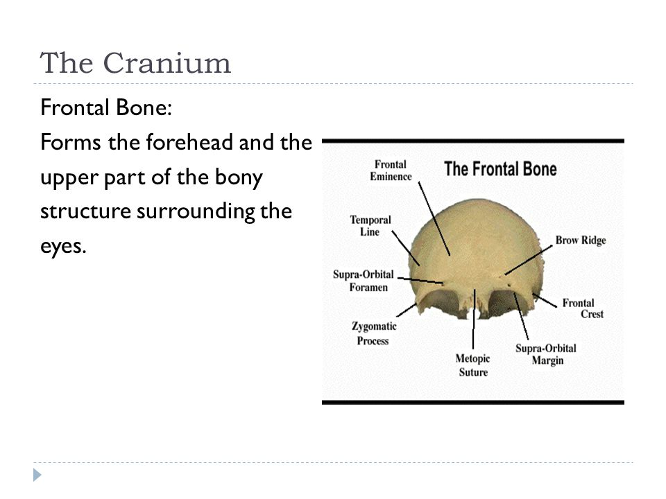 The Cranium Frontal Bone: Forms the forehead and the upper part of the bony structure surrounding the eyes.