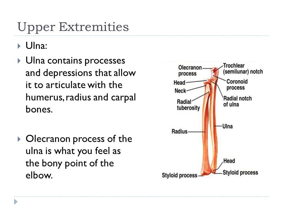 Upper Extremities Ulna: