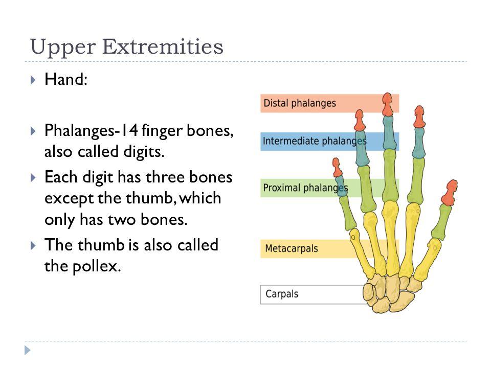 Upper Extremities Hand: Phalanges-14 finger bones, also called digits.