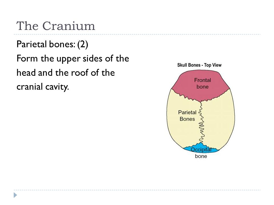 The Cranium Parietal bones: (2) Form the upper sides of the head and the roof of the cranial cavity.