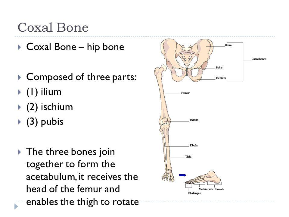 Coxal Bone Coxal Bone – hip bone Composed of three parts: (1) ilium