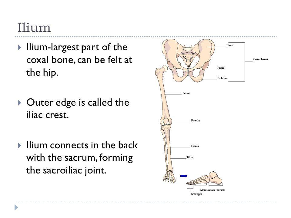 Ilium Ilium-largest part of the coxal bone, can be felt at the hip.