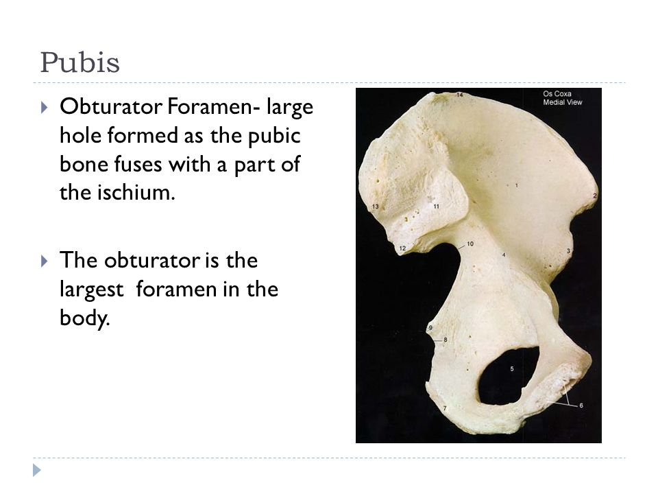 Pubis Obturator Foramen- large hole formed as the pubic bone fuses with a part of the ischium.