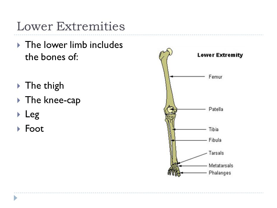 Lower Extremities The lower limb includes the bones of: The thigh