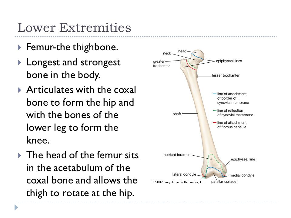 Lower Extremities Femur-the thighbone.