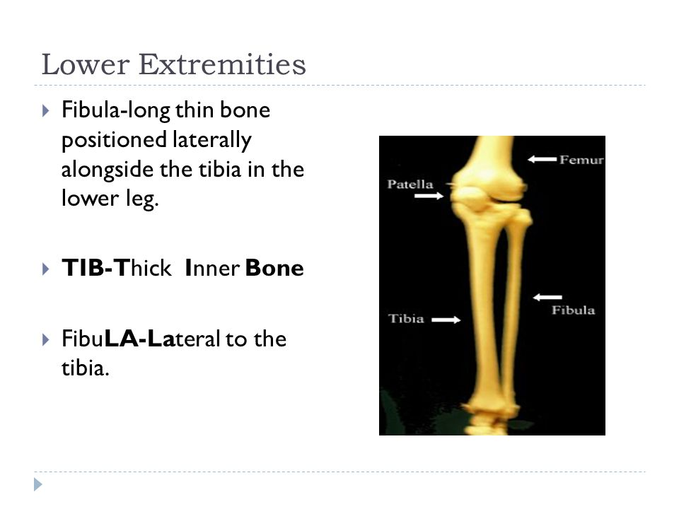 Lower Extremities Fibula-long thin bone positioned laterally alongside the tibia in the lower leg.