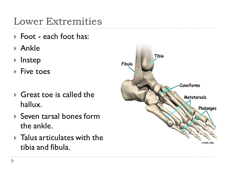 Lower Extremities Foot - each foot has: Ankle Instep Five toes