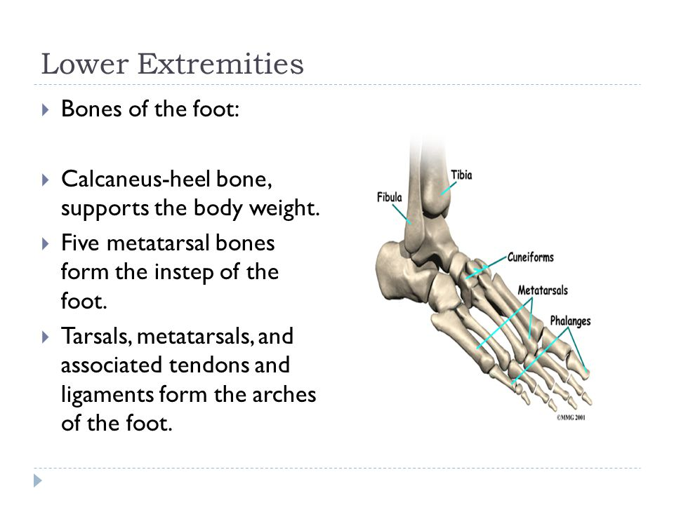 Lower Extremities Bones of the foot: