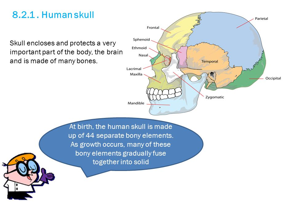 8.2.1 . Human skull Skull encloses and protects a very important part of the body, the brain and is made of many bones.
