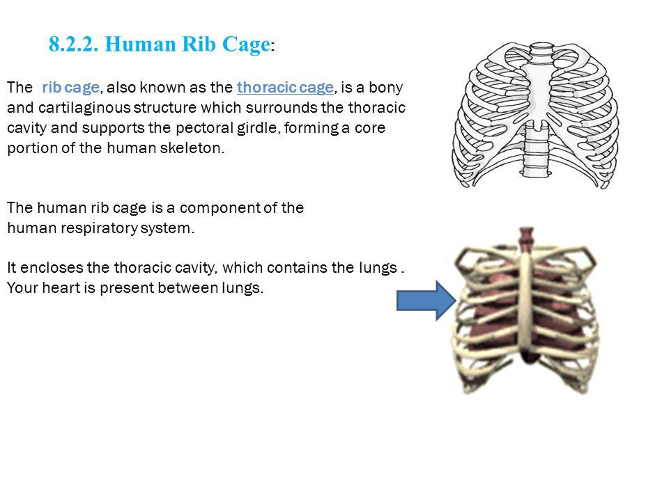 8.2.2. Human Rib Cage: