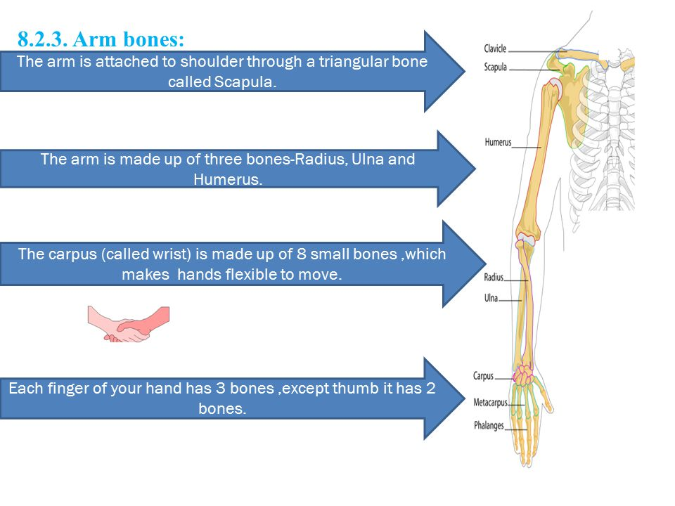 8.2.3. Arm bones: The arm is attached to shoulder through a triangular bone called Scapula.