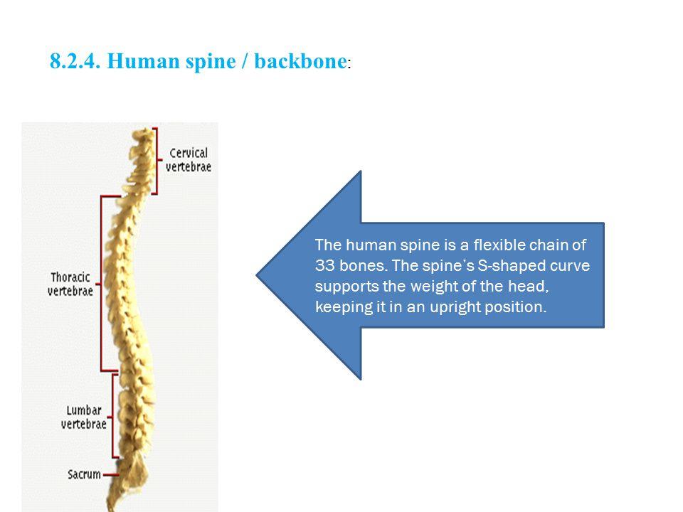 8.2.4. Human spine / backbone: