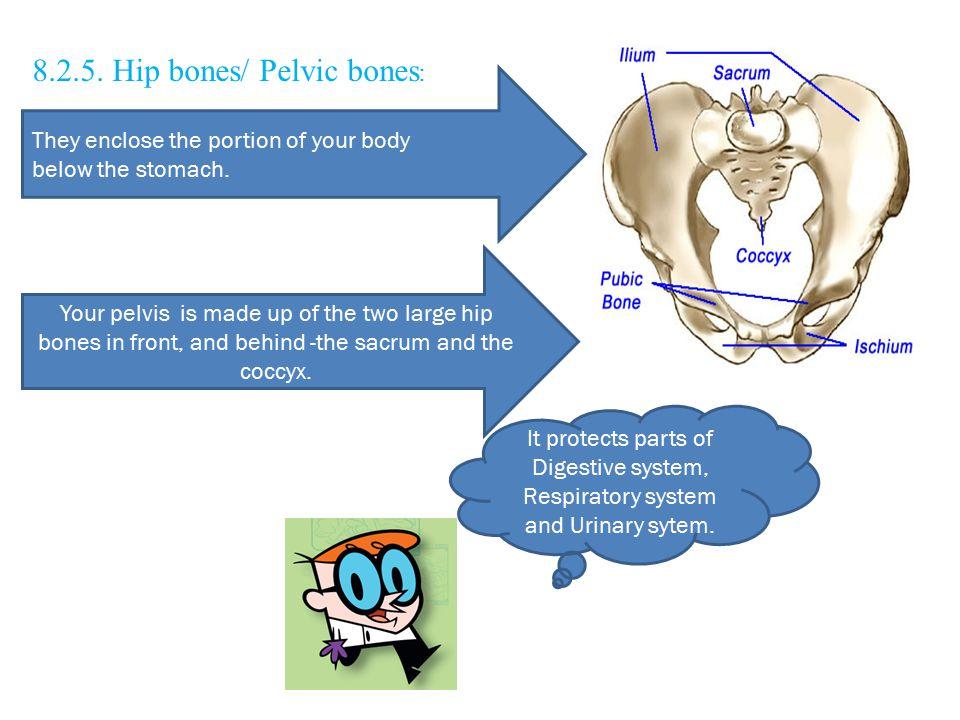 8.2.5. Hip bones/ Pelvic bones: