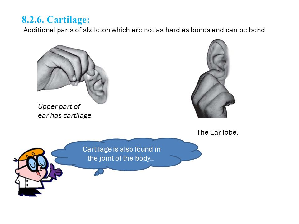 Cartilage is also found in the joint of the body..