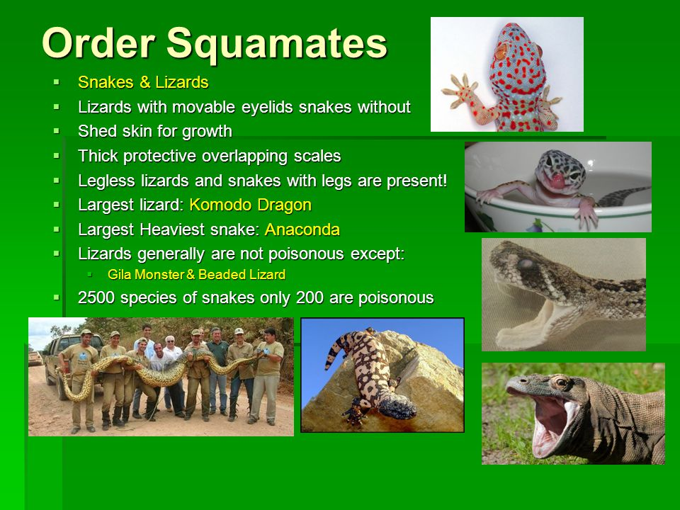 Order Squamates Snakes & Lizards