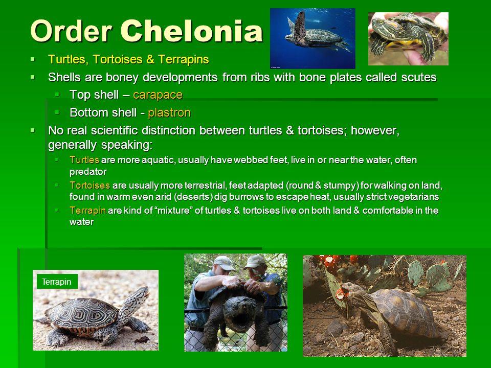 Order Chelonia Turtles, Tortoises & Terrapins
