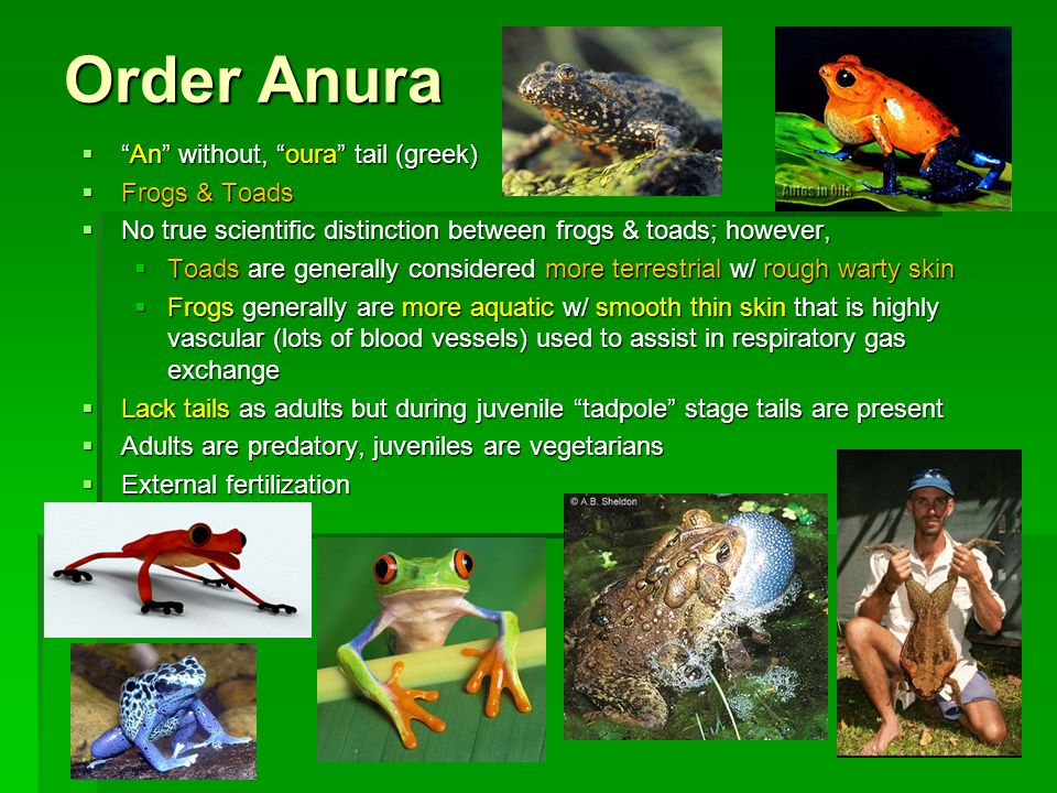 Order Anura An without, oura tail (greek) Frogs & Toads