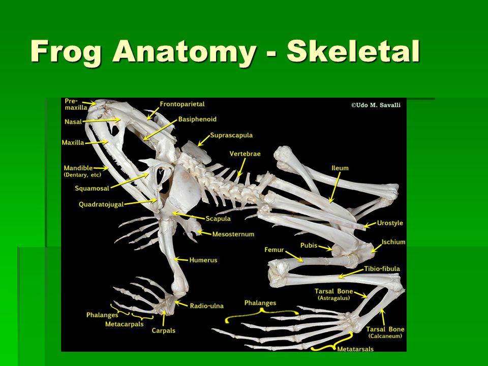 Frog Anatomy - Skeletal
