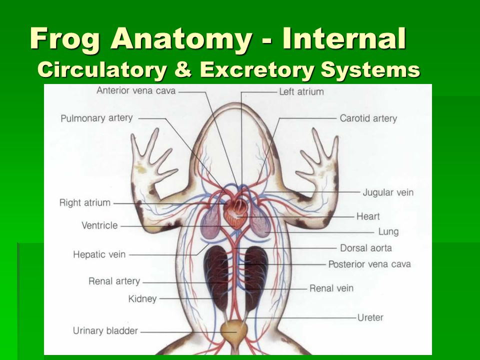 Frog Anatomy - Internal