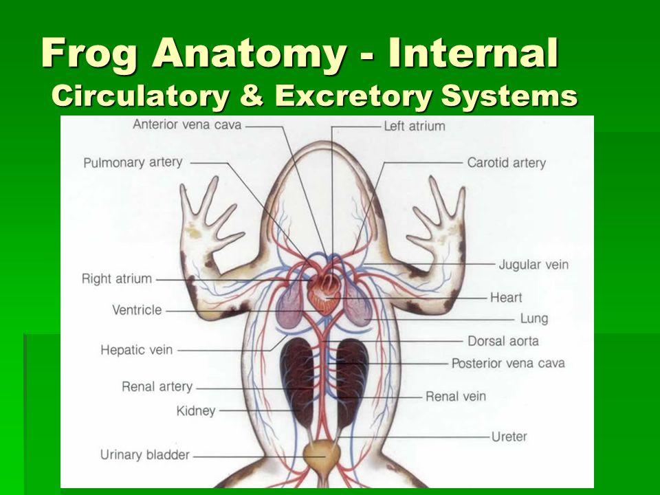 Frog Anatomy Internal and External ThoughtCo - dinocro.info